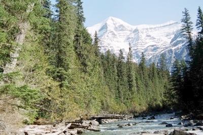 Ancient Cedar at Mt Robson (114K)