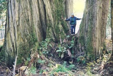 Ancient Cedar (30K)