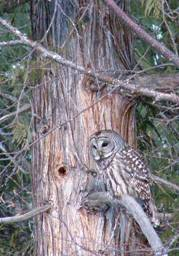 Barred Owl in Ancient Cedar (13K)